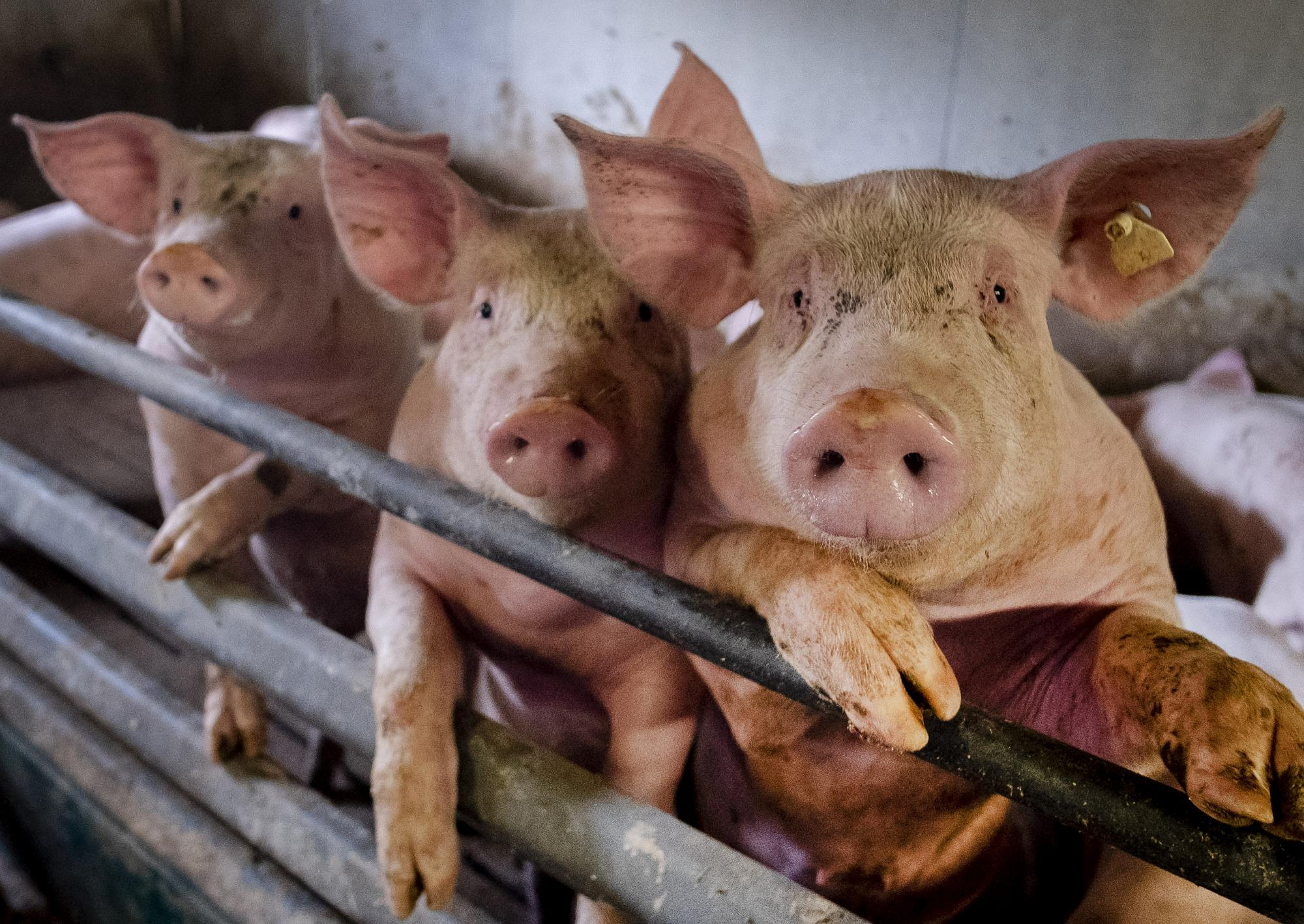 از ویروس آنفلوانزای خوکی جدید با احتمال همه گیری جهانی بیشتر بدانید